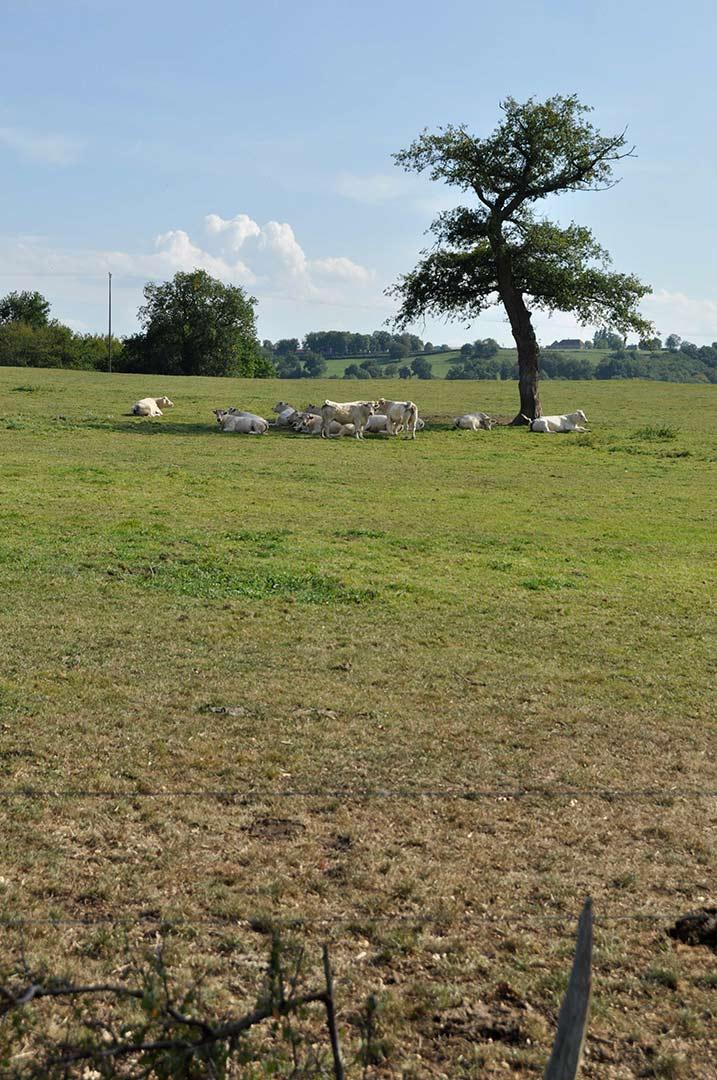 pastorale, belles heures, arbre et vaches dans l'allier, france