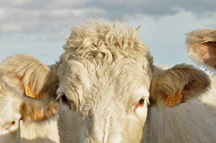 pastorale, foto collage 4, ogen oren koe