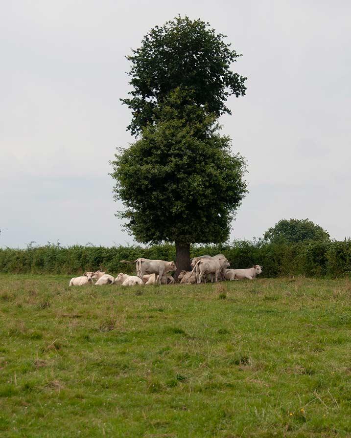 pastorale, foto collage 4, boom, schaduw koeien